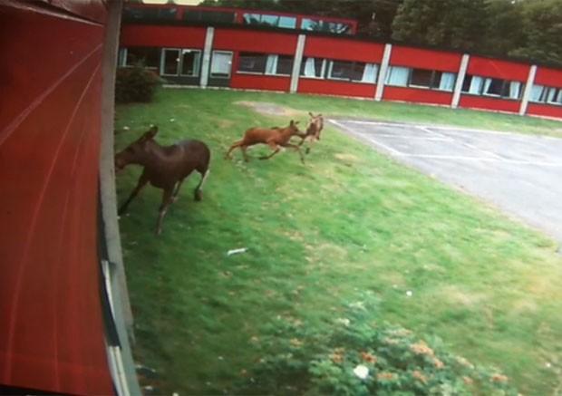 Alce quebrou portas de vidro de uma escola secundária em Vestby, perto de Oslo, após atacar o próprio reflexo (Foto: Reprodução/moss-avis.no)