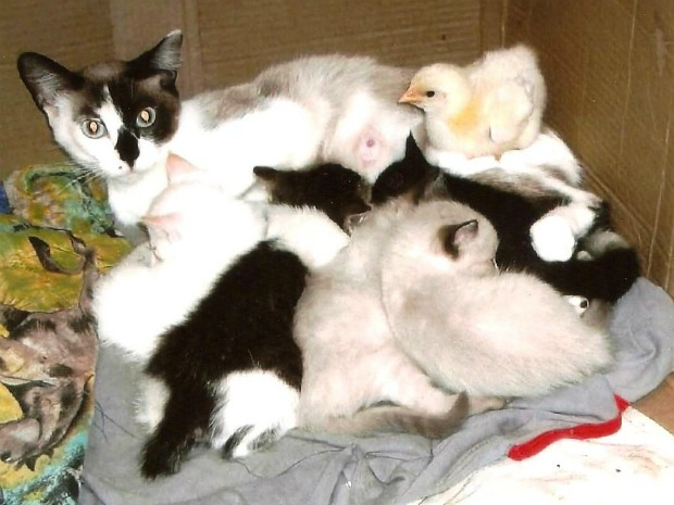 Pintinho foi adotada por gatas e, segundo protetora, passou a se comportar como elas (Foto: Marina Gonçalves/Divulgação)