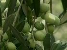 Em SC, pesquisadores comemoram resultado da produção de azeitonas