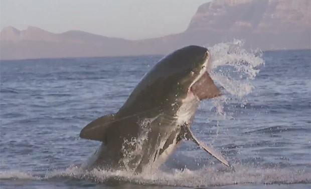 Grande tubarão branco 'bife' lançado no mar na África do Sul (Foto: Reprodução/YouTube/Oberto Beef Jerky)
