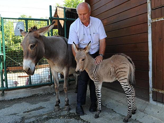 'Zonkey'  nascido há três dias é uma junção rara de asno fêmea e zebra macho (Foto: Carlo Ferraro/Ansa/Zumapress.com)