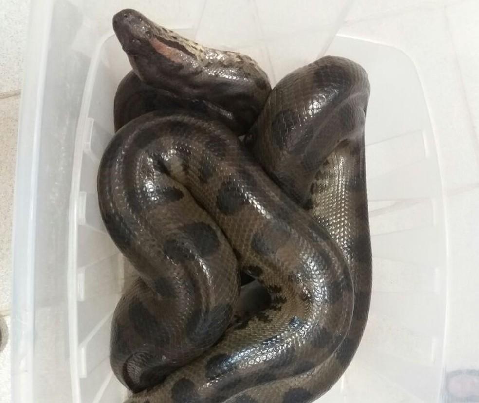 Cobra foi resgatada na tarde desta segunda-feira (10) (Foto: Divulgação/BPAMB)