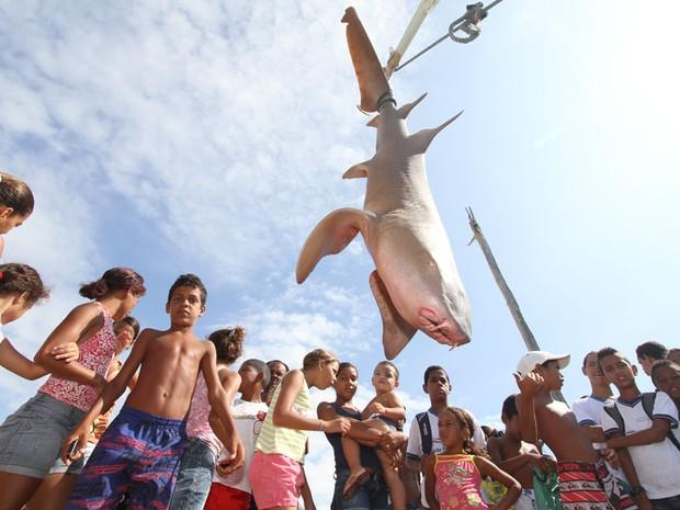 Tubarão-lixa de aproximadamente 1,80 m e 80 quilos, foi capturado na rede de um pescador na Ilha de Maruim, a cerca de 1 km da costa de Olinda, em Pernambuco. (Foto: Guga Matos/JC Imagem/Estadão Conteúdo)