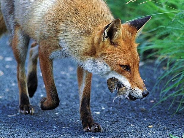 'Tirei esta foto de uma raposa macho após ela ter capturado dois roedores. Consegui fazer esta imagem logo depois de ela tê-los capturado' (Foto: David Gibbon/BBC)