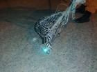 Gato maracajá é encontrado em residência na zona Oeste de Boa Vista