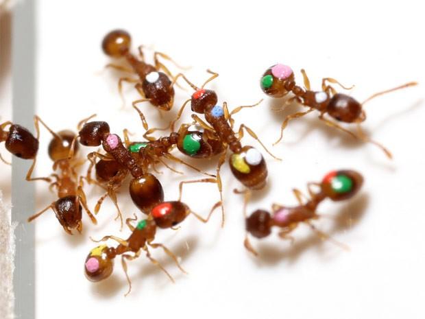 Formigas usadas em teste agrupam-se na entrada da colônia (Foto: Divulgação/Universidade Estadual do Arizona)