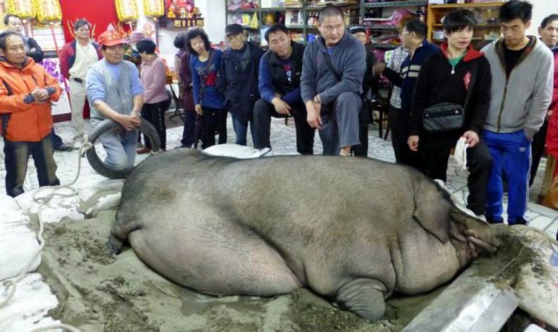 porco_taiwan_planeta_bicho (Foto: Reprodução/AsiaOne News)