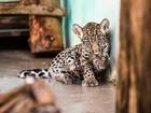 Refúgio Biológico de Itaipu recebe filhotes de onça e de jaguatirica