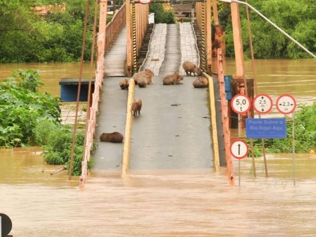 Chuva SC: em Rio do Sul, capivaras ficaram ilhadas com a cheia do Rio Itajaí-Açu (Foto: Orlando Pereira/Divulgação)