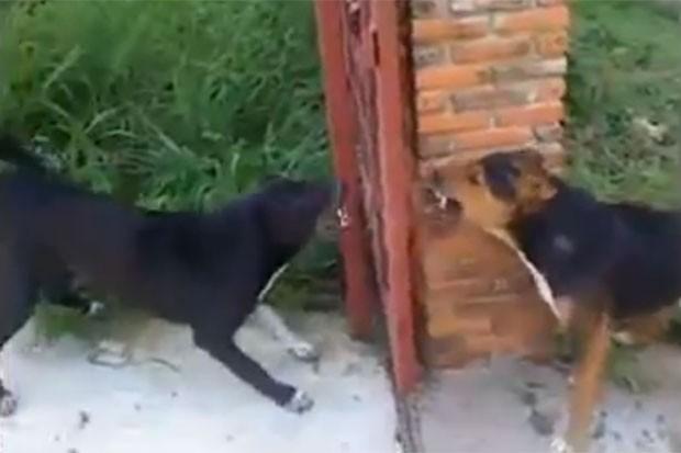 Cães viraram piada ao se enfrentarem diante de portão aberto em vídeo (Foto: Reprodução/LiveLeak/nonad)