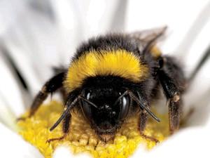 Abelha selvagem, como a da foto, pode estar sendo infectada por abelha produtora de mel (Foto: Matthias A. Fürst/Divulgação)