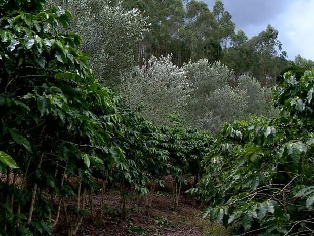 Plantação de oliveiras ganha espaço em Santa Teresa (Foto: Reprodução/ TV Gazeta)