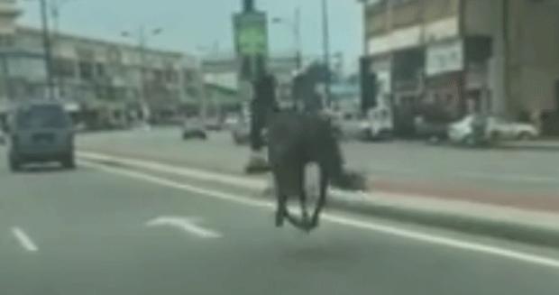 Cavalo é flagrado correndo solto em rua movimentada na Malásia (Foto: Adli Alimin/Facebook)