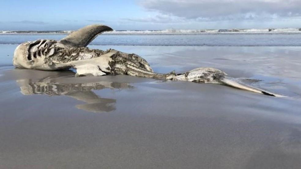 Uma das carcaças encontradas media mais de 4 metros de comprimento (Foto: Marine Dynamics / Dyer Island Conservation Trust)