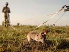 Ratos gigantes são treinados para encontrar explosivos no Camboja