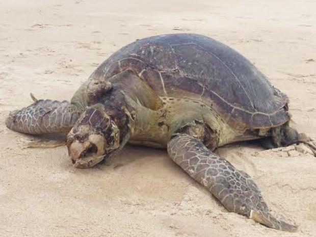 Quinta tartaruga encontrada morta no litoral paraibano em quatro dias (Foto: Walter Paparazzo/G1)