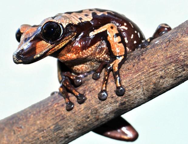 Perereca Aparasphenodon brunoi é espécie peçonhenta, que injeta veneno por meio de espinhos na cabeça  (Foto: Carlos Jared/Instituto Butantan)