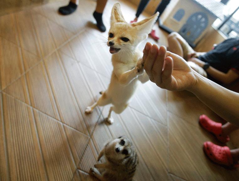 Cliente pega raposa no colo (Foto: Sakchai Lalit/AP)