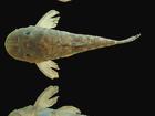 Pesquisadores da UFRN descobrem espécie de peixe no sertão potiguar
