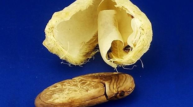 Caroço de manga pode ser transformado em plástico e ser utilizado em diversas aplicações (Foto: Divulgação)