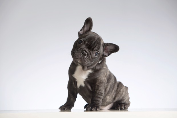Baby Purebred French Bulldog Looking at the Camera (Head Cocked). Studio shot (indoors). White background. Horizontal format. Shot with Canon EOS 5D. (Foto: Getty Images/iStockphoto)