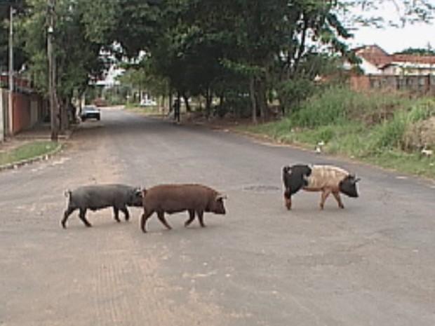 Porcos são terminantemente proibidos pelo centro de controle (Foto: Reprodução/TV Tem)