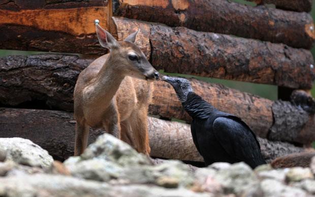 Veado e urubu são flagrados 'se beijando' em zoológico em El Piccaho, ao norte de Tegucigalpa, capital de Honduras, na quinta-feira (12) (Foto: Orlando Sierra/AFP)