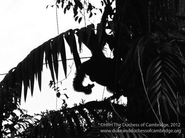 Orangotango se alimentando é clicado por Kate durante visita a Bornéu (Foto: Reuters/Duquesa de Cambridge)