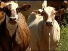 Criadores enfrentam dificuldade para fazer a reposição do gado em Goiás
