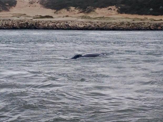 Baleias atravessaram o Canal dos Molhes, em Laguna (Foto: Gabriel Felipe/RBS TV)