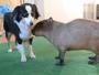 Vídeo mostra amizade entre capivara e cães border collies