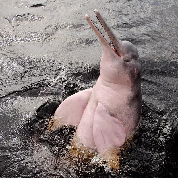 O boto pode chegar a 2,5 metros de comprimento e a pesar 180 quilos. Seu peito é, de fato, cor-de-rosa; mas dentro da água cor-de-conhaque do rio Negro ele pode parecer avermelhado (Foto: Haroldo Castro/ Época)
