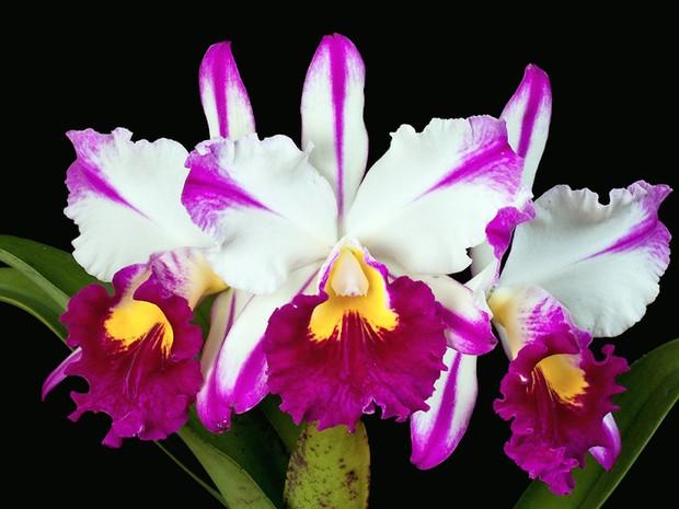 Exposição de orquídeas acontece no Pátio Cianê Shopping  (Foto: Atua Agência/Divulgação)
