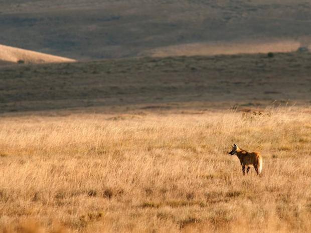 Lobos na Serra da Canastra (Foto: Adriano Gambarini/Divulgação)
