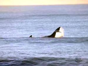 Baleias francas são avistadas em praia no Sul de Florianópolis (Foto: Reprodução/RBS TV)