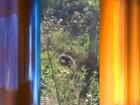 Tamanduá-mirim é resgatado por Corpo de Bombeiros em Jaú