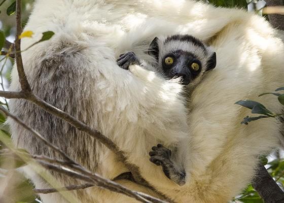 Na floresta seca de Kirindy, um filhote de sifaka-verreauxi, identicado por sua coroa marrom na cabeça, esconde-se entre os pelos brancos e macios de sua mãe (Foto: © Haroldo Castro/ÉPOCA)