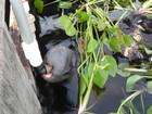 Nova mamadeira para peixes-boi pode agilizar reabilitação de animais
