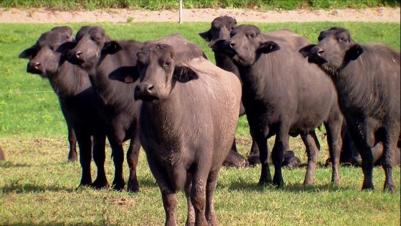 búfalos-latícinios (Foto: Reprodução/TV Globo)