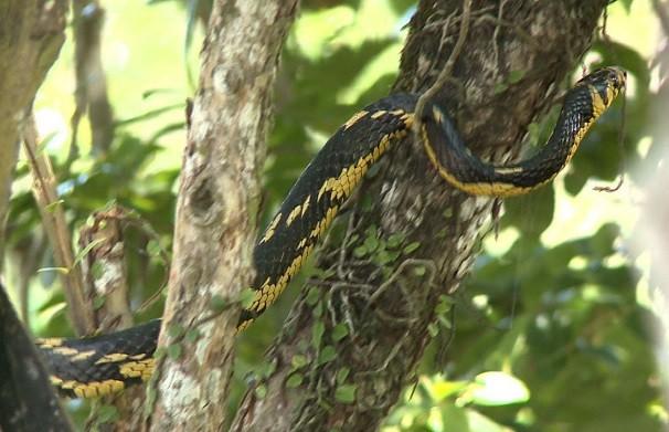 Cobra passeia entre os galhos em Ilha Comprida (Foto: Reprodução/TV Tribuna)