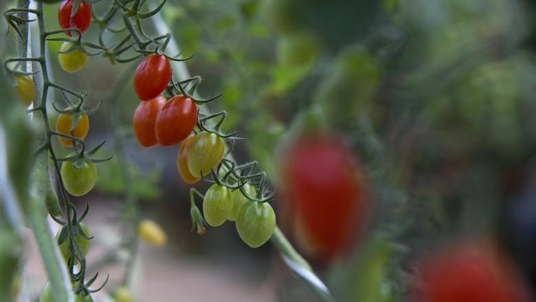 hortifruti_tomate_grape (Foto: Marcelo Min / Ed. Globo)