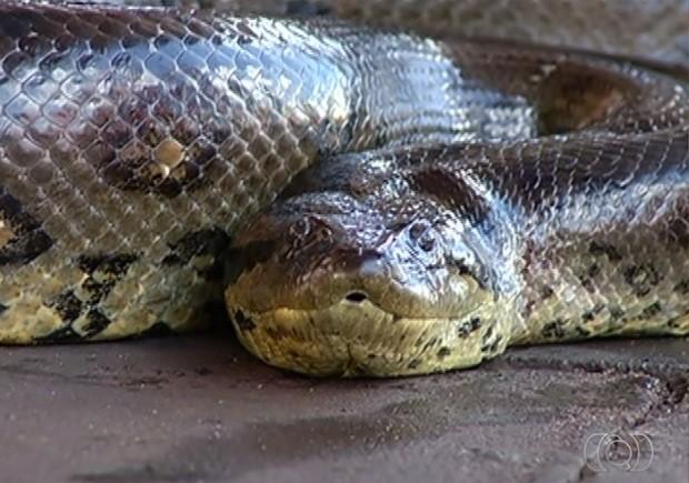 Após ser capturada, cobra foi solta no Rio Paranaíba, em Itumbiara, Goiás (Foto: Reprodução/ TV Anhanguera)