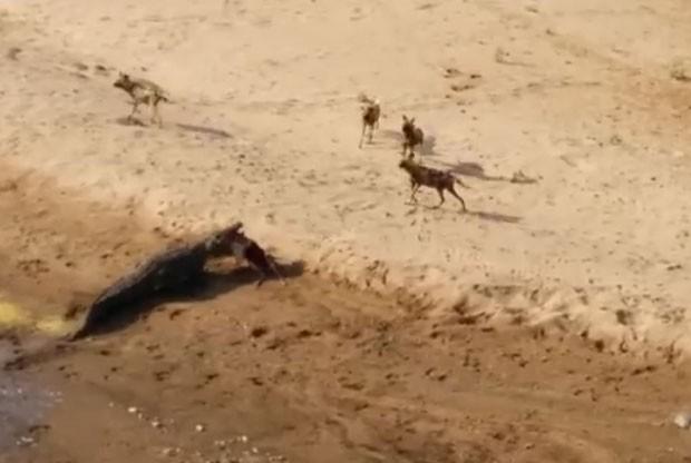 Crocodilo enorme foi filmado roubando a refeição de cães selvagens (Foto: Reprodução/YouTube/Fionntan Roukema)