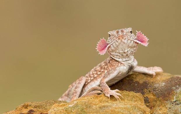 """Phrynocephalus mystaceus, popularmente conhecido como """"lagarto-dragão"""", usa a pele dos cantos da boca como mecanismo de defesa bizarro (Foto: Milan Zygmunt, Solnet/The Grosby Group)"""