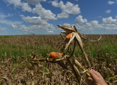 Perda de eficiência do milho Bt levou Aprosoja-MT a notificar empresas fornecedoras da tecnologia (Foto: Ernesto de Souza/Ed. Globo)