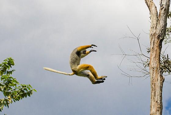 O sifaka-diadema, devido a sua dieta energética, é capaz de dar longos pulos entre as árvores da reserva Analamazaotra (Foto: © Haroldo Castro/ÉPOCA)