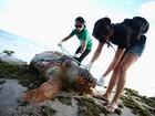 Número de encalhe de tartarugas em Maceió cresce quase 300%, diz Biota