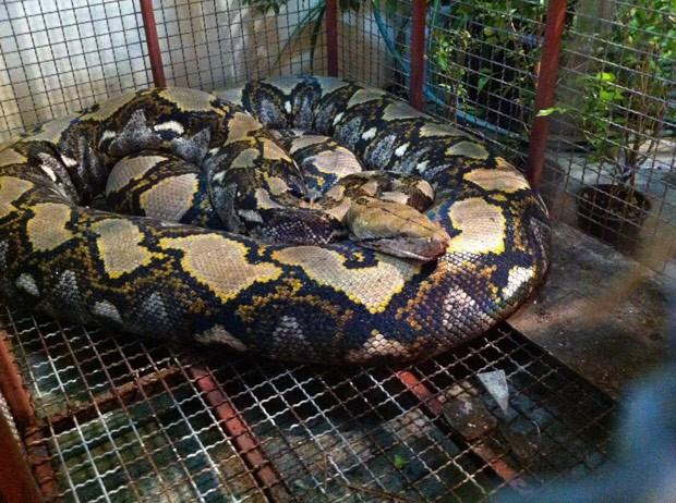 Cobra pesava cerca de 200 quilos e foi encontrada perto de restaurante (Foto: Reprodução/Facebook/Bombeiros de Talat Phlu)
