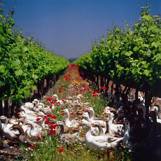 Predadores naturais soltos em vinhedos orgânicos para ajudarem no combate as pragas (Foto: Reprodução)