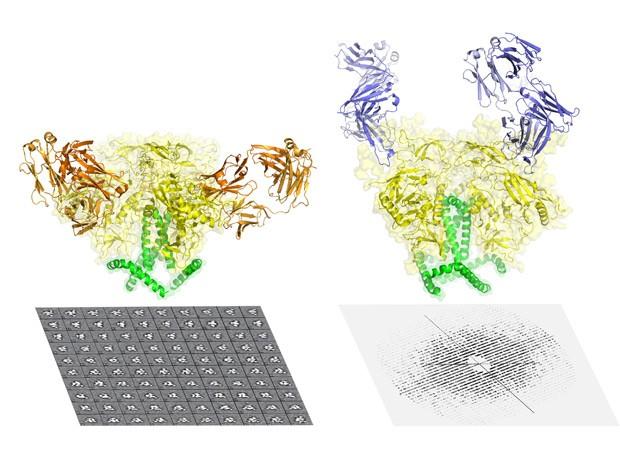 A proteína que envolve o HIV há muito tempo é considerada um dos alvos mais difíceis em biologia estrutural, e de grande valor para a medicina, particularmente para o desenvolvimento de uma vacina conta HIV. Na imagem, a proteína aparece conectada a anticorpos. (Foto: Cortesia do Wilson lab/The Scripps Research Institute.)